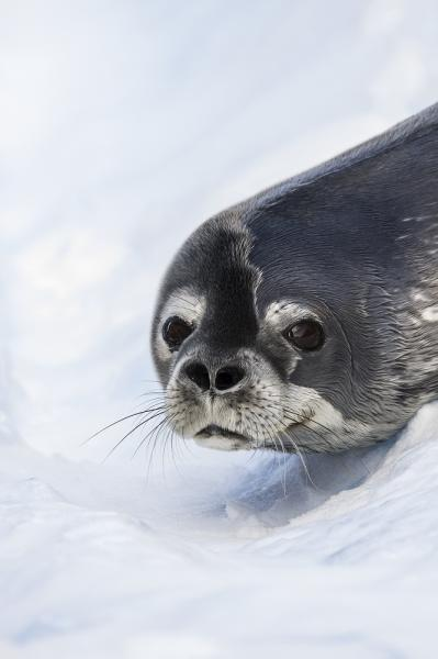 A Weddell Seal at Spert Island, Antarctica.