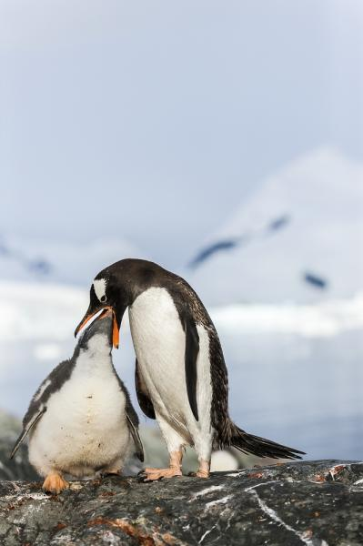 An adult gentoo penguin feeding a juvenile at Brown Station, Antarctica.