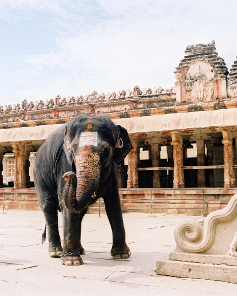 A sacred elephant in the Virupaksha Temple in the ancient city of Hampi, in Karnataka Province, India.