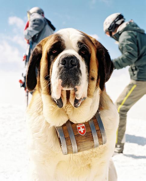 Emi the Saint Bernard lies in the wait for tourists to have their photo taken with her with the stunning background of the Matterhorn high on the top of Rothorn  in Zermatt, Switzerland.